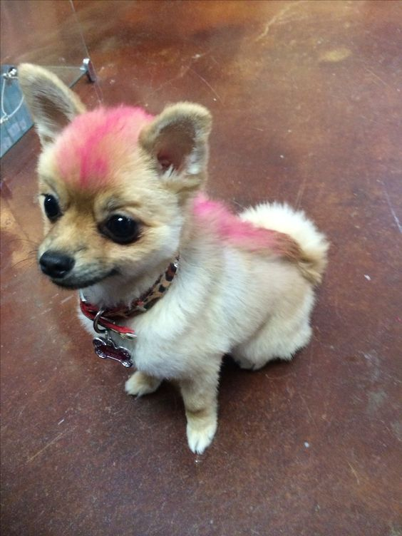 pink mohawk for foxxy  pomeranian hair cut