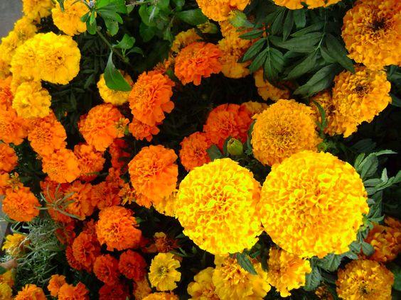 Flor de cempasúchitl: dualidad entre la vida y la muerte