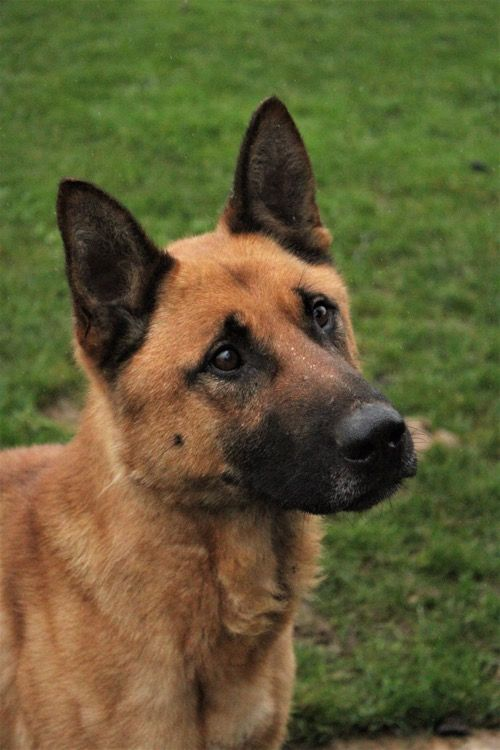 This Handsome Boy Is Cesar A 3 Year Old Neutered Male Gsd X He