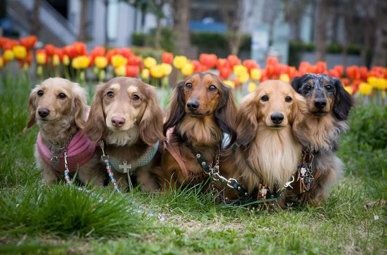 An adorable wiener herd