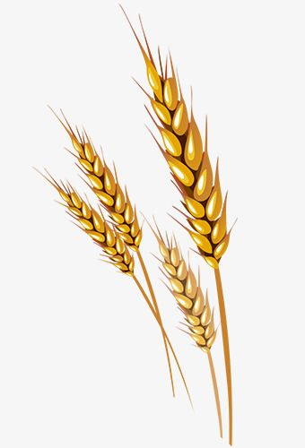 Wheat Vector Wheat Drawing Wheat Vector Beer Drawing
