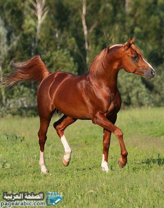 خلفيات صور خيول 2021 عربية حصان 1442 عربية اصيلة الصفحة العربية Horses Horse Breeds Chestnut Horse
