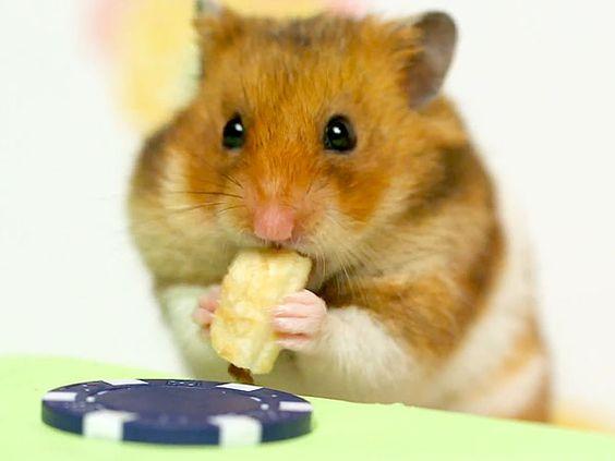 VIDEO: Hamster vs. Takeru Kobayashi in Adorable Hot Dog Eating Contest http://greatideas.people.com/2014/09/16/hamster-kobayashi-hot-dog-eating-contest-video/