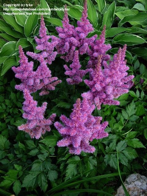 For Very Wet Areas Chinese Astilbe Astilbe Chinensis Also Known As False Spirea False Goat S Beard Visions Trees To Plant Shade Plants Shade Garden