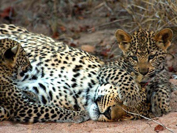 Léopards dans les réserves privées de Kruger sont moins timides que la plupart - les observations peuvent être sensationnel.