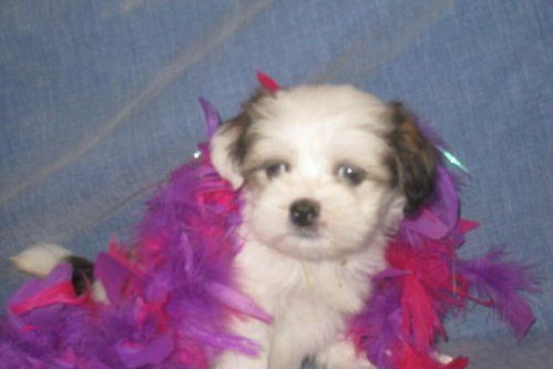 Lhasa Apso Puppies For Re Homing For Sale Adoption From Australia