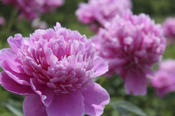 Pfingstrosen - Pflanzen und Pflegen