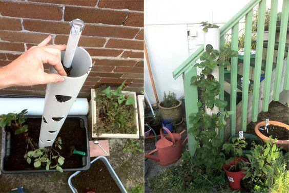Plantação vertical de morangos em tubo de pvc