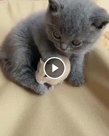 Mini gato cuida de um mini Rato dieta balanceada