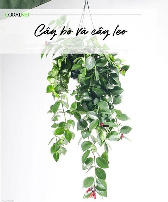 [Ebook Việt Hoá] Cây Cảnh Trong Nhà Thực Hành – Chương III – 07. Cây bò và cây leo
