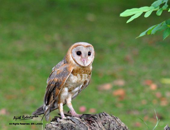 Barn Owl (Tyto alba). Photo by Ajith Ratnayaka.