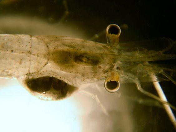 um camarão (Crustacea, Decapoda) sendo parasitado por um isópode epicarideo (Crustacea, Isopoda)