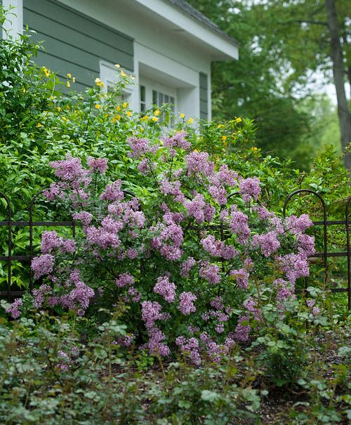 Blimey This New Lilac Takes The Heat In 2020 Lilac Tree Syringa Lilac