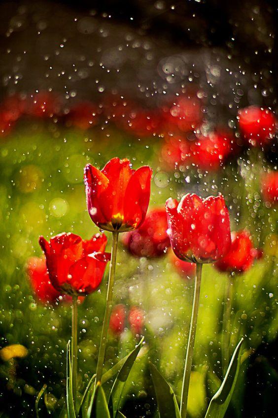 Tulips in the rain....2 of my favorite things!