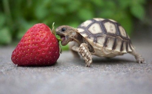 you eat that strawberry! do it! do it! show that berry who's boss! (this could take awhile)
