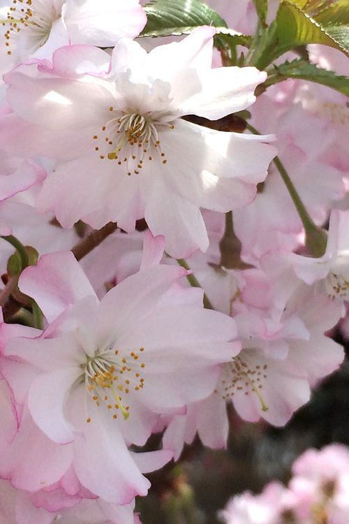 Buy Autumnalis Fall Blooming Pink Flowering Higan Cherry Tree For Sale Online From Wilson Bros Gard Flowering Cherry Tree Plants For Sale Online Trees To Plant