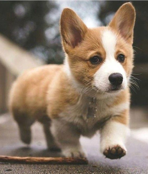 Cute Corgi Dog Cute Corgi Dogs Cute Corgis Cute Dogs Cute Doggies