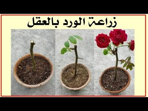 زراعة عقل الورد الجوري Grow Roses From Cuttings Youtube Plants Planters Rose