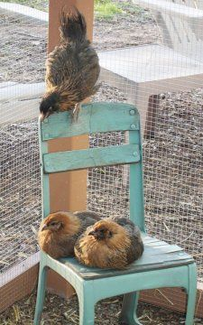 Araucana chicks and I love how the chair color matches their future egg color.