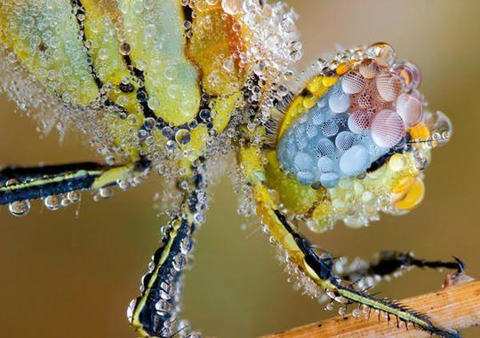 macro foto libelula