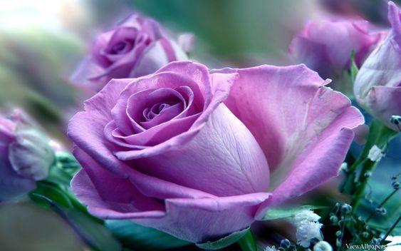 Purple Rose Flower Wallpaper