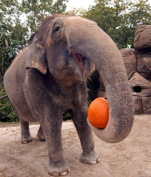 An elephant from Cincinnati Zoo happily holds a pumpkin in her trunk.