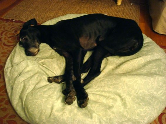 how to make a giant dog bed. For when Oshie finally succeeds in demolishing his...
