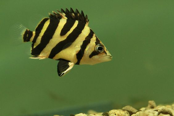 Datnoid Fish 5 care