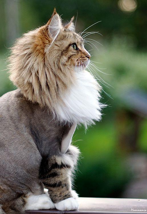 Lion Haircut : haircut, 我的猫咪, Haircut,, Unique, Cats,, Breeds