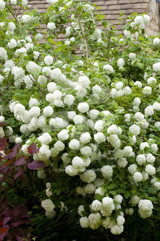 Viburnum opulus 'Roseum' is my absolute favourite foliage plant for late spring, early summer picking. From early May, this is covered in bright acid-green fluffy footballs and elegant indented leaves.