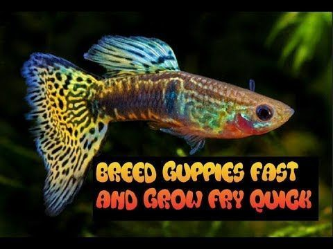 How To Breed And Care For Guppies Grow Fry Fast Youtube In 2020 Guppy Guppy Fish Breeds