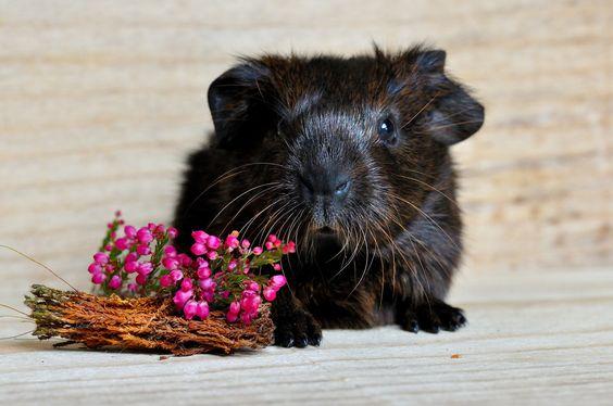 Kann man auch Kleintiere homöopathisch behandeln?Globuli-Maus Ja, man kann. Wie jedes andere Tier auch, lassen sich Kleintiere, wie z. B. Hamster, Hasen, Mäuse, Vögel, Ratten usw. homöopathisch behandeln. Die Therapie verläuft nicht anders, wie bei jedem anderen Tier auch. www.globuliwelt.de