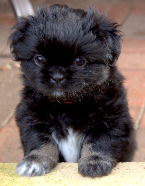 Tibetan Spaniel Puppy aka a little puff ball