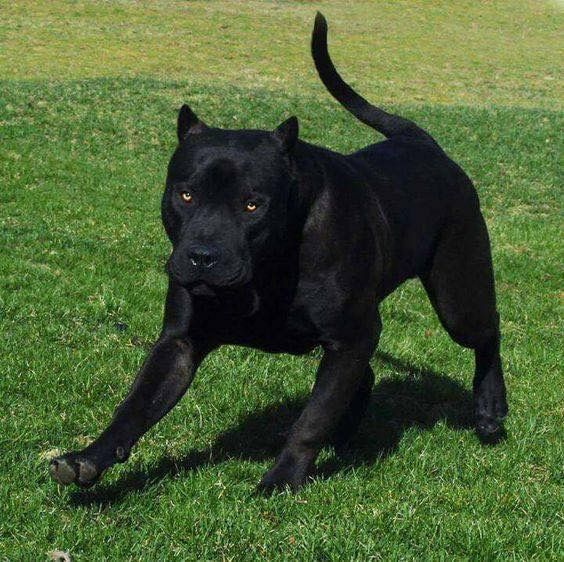 Black Pit Looks Like Black Panther Dogs Pitbull Terrier Corso Dog