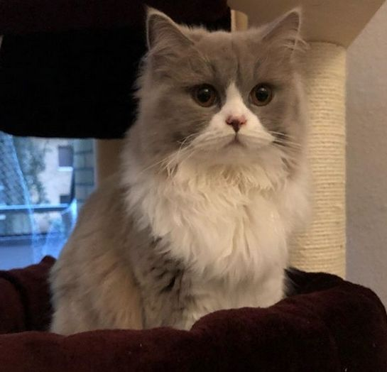 30 Best Female Grey And White Cat Names Petpress In 2020 Grey And White Cat Cat Names Cat With Blue Eyes
