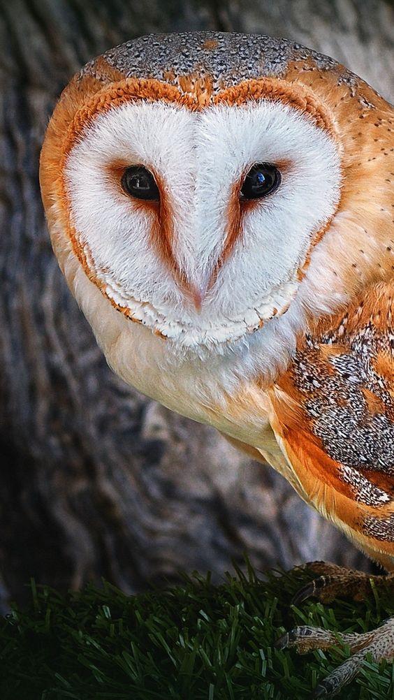 Beautiful Barn owl face.