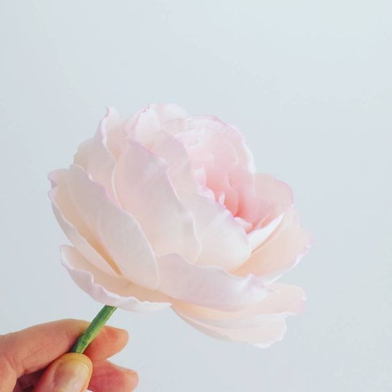 Thursday work.  #petalsweet #sugarflowers #sugarroses #blush #rose #gardenrose #thursday