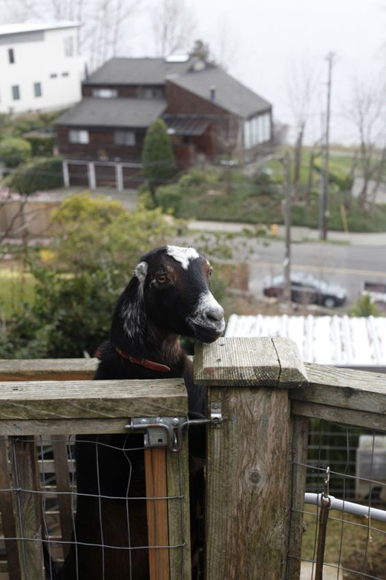 lol animals goats and more raising goats raising goats backyards