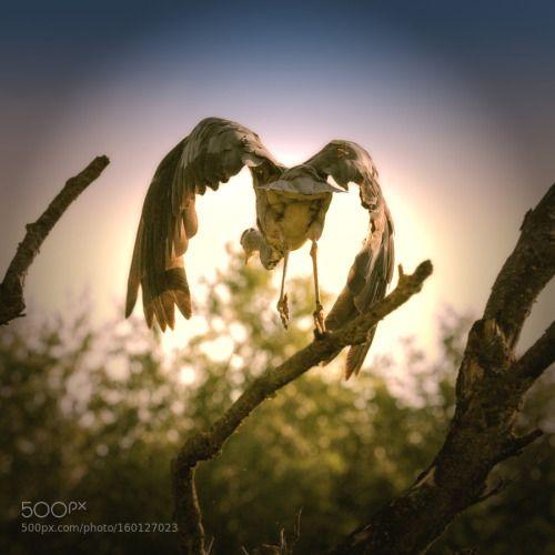 jumping heron by hansdewaay http://ift.tt/28TXnZI