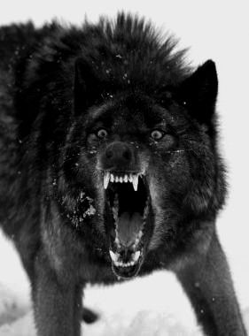 Angry black wolf red eyes - photo#13