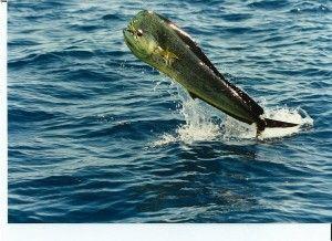 Cabrera local fish Dorado