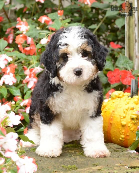 Sadie Mini Bernedoodle Puppy For Sale In Fresno Oh Buckeye Puppies Bernedoodle Bernedoodle Puppy Mini Bernedoodle