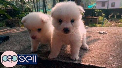 Good Quality Miniature Pomeranian For Sale Pomeranian Dogs Australia Home Facebook Kolkata Puppy Center In 2020 Pomeranian Puppy Teacup Pomeranian Dog Teacup Puppies
