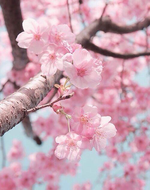 Sakura Cherry Blossom Cherry Blossom Wallpaper Cherry Blossom Flowers Blossom Flower