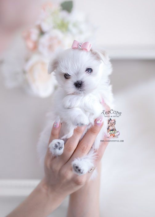 Tiny Maltese Puppy For Sale Teacup Puppies 270 A Teacup Puppies Teacup Puppies For Sale Maltese Puppy