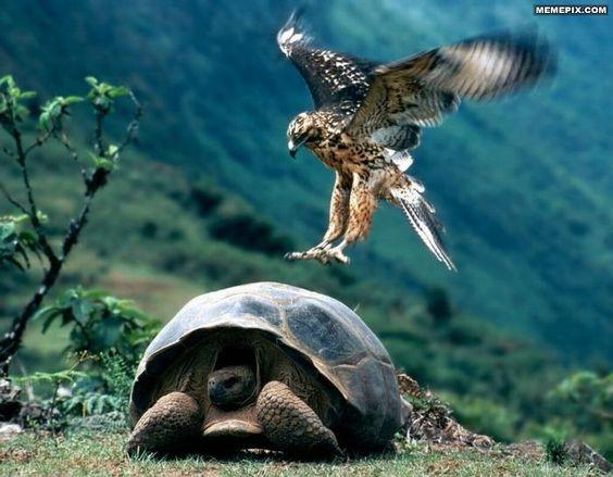 Epic Hawk Lands on a Turtle.