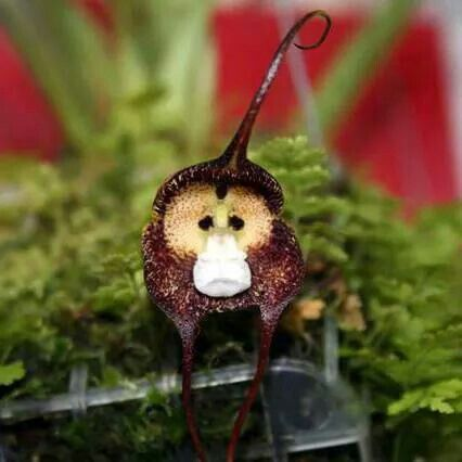 monkey orchid