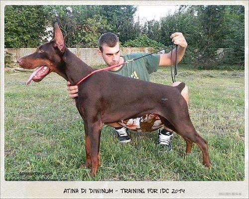 Atina Di Diwinum Anjing Doberman Dog Show