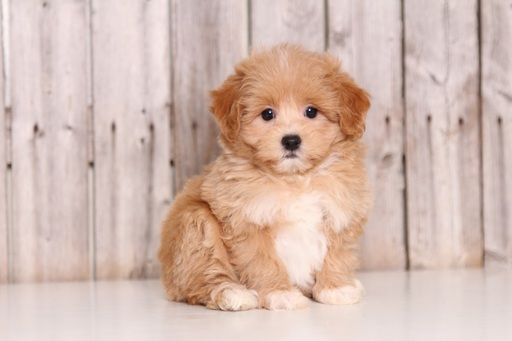 Maltipoo Puppy For Sale In Mount Vernon Oh Adn 51783 On