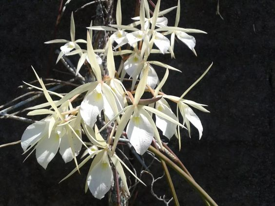 orquidea brassavola tuberculata adulta
